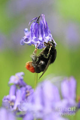 Photograph - Bumble Bee On Bluebell by Julia Gavin