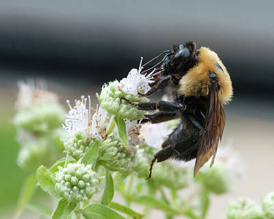 Photograph - Bumble Bee On Downy Wild Mint by Lara Ellis