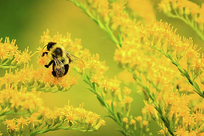 Photograph - Bumble Bee On Goldenrod by Joni Eskridge