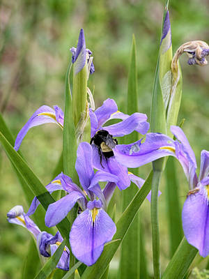 Photograph - Bumble Bee On Iris by Charles McKelroy