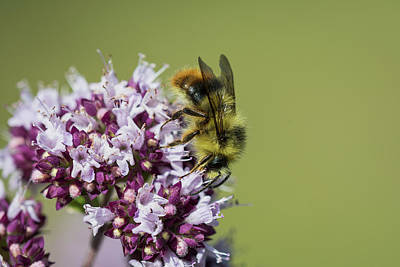 Photograph - Bumble Bee On Oregano by Robert Potts