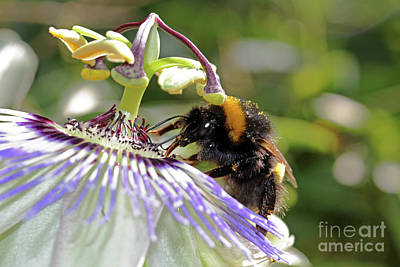 Photograph - Bumble Bee On Passion Flower by Julia Gavin