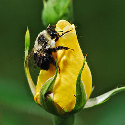 Mgp Photograph - Bumble Bee On Rose  by Michael Peychich