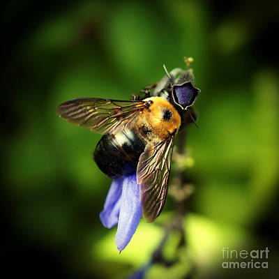 Photograph - Bumble Bee On Salvia by Sue Melvin