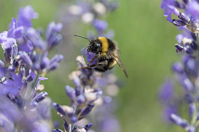 Photograph - Bumble Bee On The Lavender Flower Closeup by Jaroslav Frank