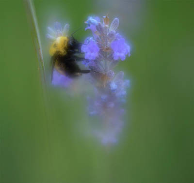 Photograph - Bumble Bee On The Purple Flower by Barbara Rogers