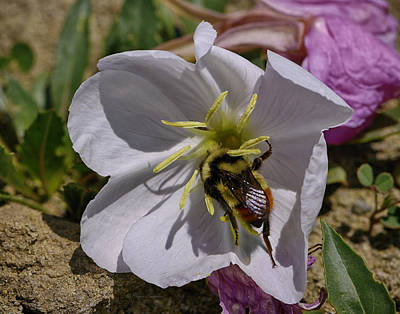 Photograph - Bumble Bee On Wild Primrose 1 by Roger Snyder