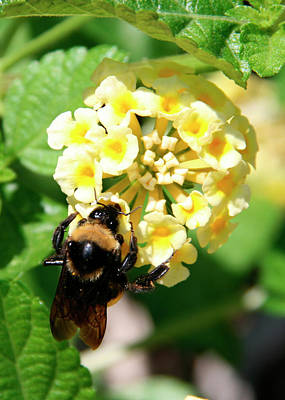 Photograph - Bumble Bee On Yellow Flowers by George Jones