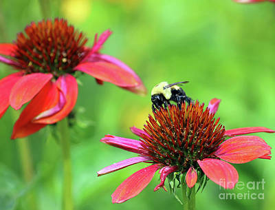 Bumble Bee Print by Steve Gass