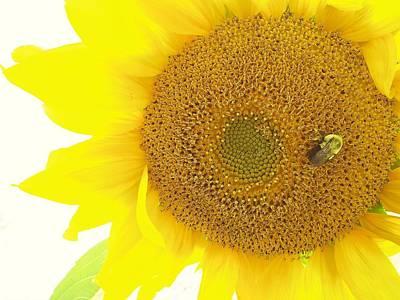 Bumble Bee Sunflower Art Print