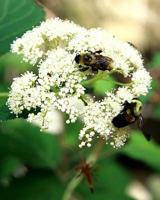 Photograph - Bumble Bees by Kevin Myers
