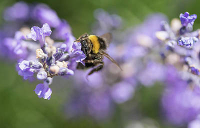Photograph - Bumble Beewith With Head In The Lavender Flower by Jaroslav Frank