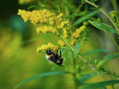 Photograph - Bumblebee And Canadian Goldenrod 13 by Jouko Lehto