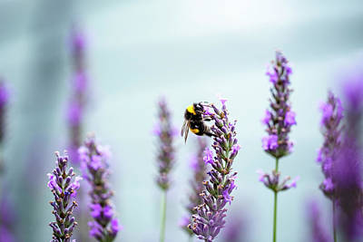 Royalty-Free and Rights-Managed Images - Bumblebee and Lavender by Nailia Schwarz