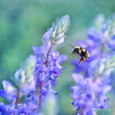 Bumblebee And Lupine Art Print by Priska Wettstein