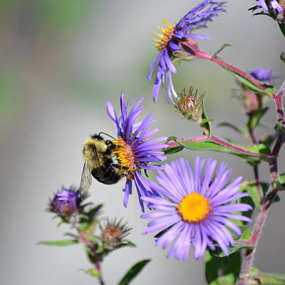 Photograph - Bumblebee And Purple Asters by rd Erickson