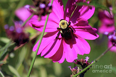 Photograph - Bumblebee Cosmos by Karen Adams