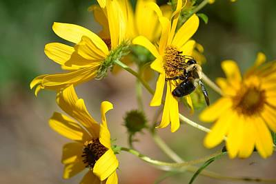 Photograph - Bumblebee Feasting On Bur Marigold by rd Erickson