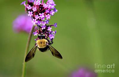 Photograph - Bumblebee Just Hanging Around by Karen Adams