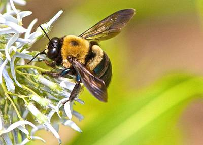 Photograph - Bumblebee by Linda Shannon Morgan