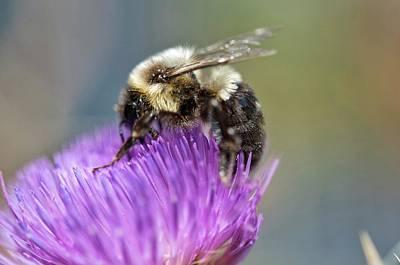 Photograph - Bumblebee by Nikki McInnes
