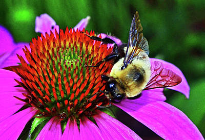 Photograph - Bumblebee On A Coneflower 015 by George Bostian