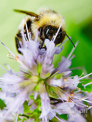 Photograph - Bumblebee On A On A Flower  by Nick  Biemans