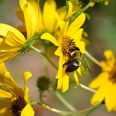 Photograph - Bumblebee On Bidens Mitis by rd Erickson