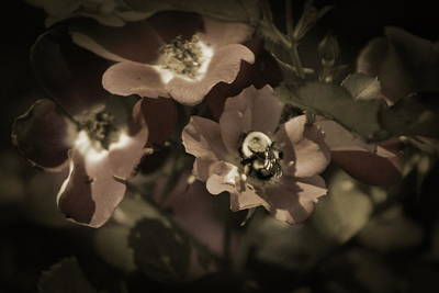 Bumblebee On Blush Country Rose In Sepia Tones Art Print