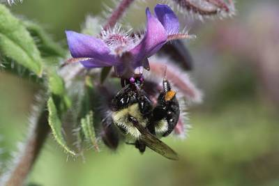 Photograph - Bumblebee On Borage by Lucinda VanVleck