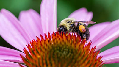 Photograph - Bumblebee On Coneflower by Lori Coleman
