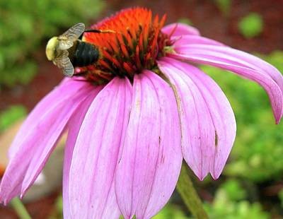 Art Print featuring the photograph Bumblebee On Coneflower by Randy Rosenberger