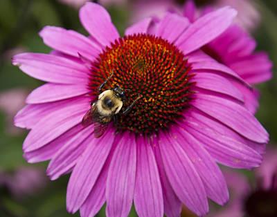 Bumblebee On Flower Art Print by Tom McCarthy
