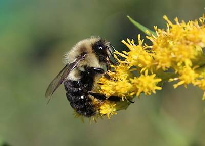 Photograph - Bumblebee On Goldenrod by Lucinda VanVleck