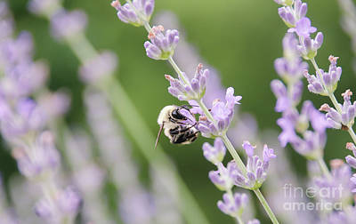 Photograph - Bumblebee On The Lavender Field 2 by Andrea Anderegg