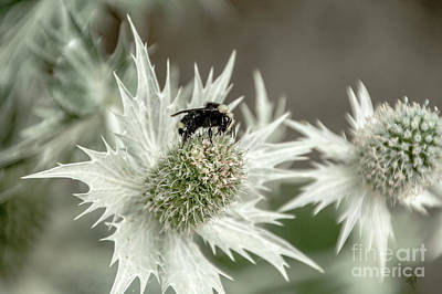 Photograph - Bumblebee On Thistle Flower by Victoria Harrington