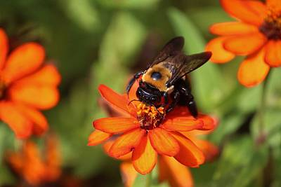 Photograph - Bumblebee On Zinnia by Cynthia Guinn
