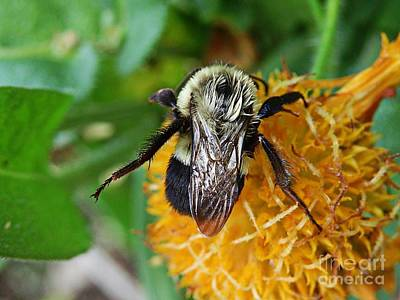 Photograph - Bumblebee At Rest by Marcia Lee Jones