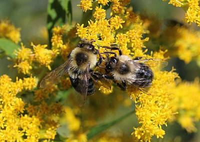 Photograph - Bumblebees On Goldenrod by Lucinda VanVleck