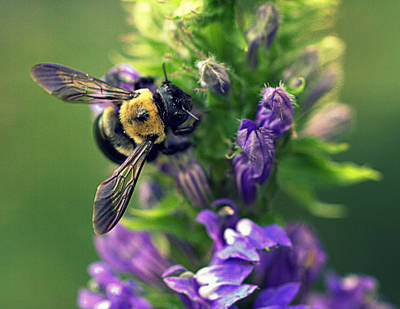 Photograph - Bumbling Bee by Joseph Skompski