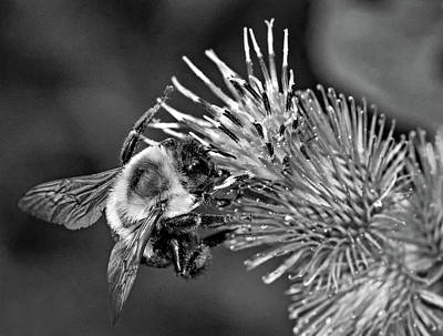 Photograph - Bumbling In The Burdock 2 Bw by Steve Harrington