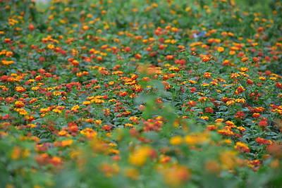 Islamabad Photograph - Bunch Of Beautiful Poppy Orange Flowers In Lake View Park Islamabad by Atthar Ramzan