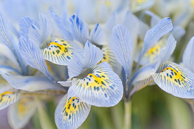 Photograph - Bunch Of Blue Mini Irises  by Jenny Rainbow