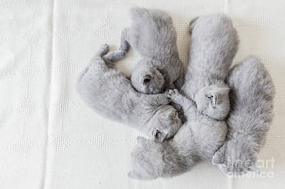 Photograph - Bunch Of Fluffy Cats. British Shorthair. by Michal Bednarek