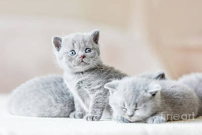 Photograph - Bunch Of Little Grey Cats. British Shorthair. by Michal Bednarek