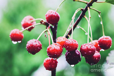 Photograph - Bunch Of Red Cherries On A Branch by Michal Bednarek