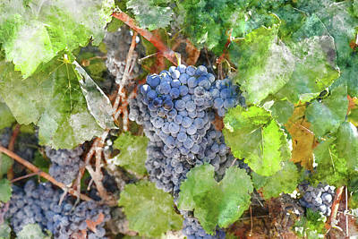 Photograph - Bunch Of Red Wine Grapes by Brandon Bourdages