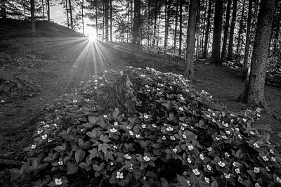 Photograph - Bunchberry at Sunset, Algonquin Park by Joshua Hakin