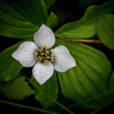 Print featuring the photograph Bunchberry Dogwood On Gloomy Day by Darcy Michaelchuk