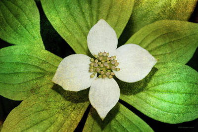 Photograph - Bunchberry Flower by WB Johnston